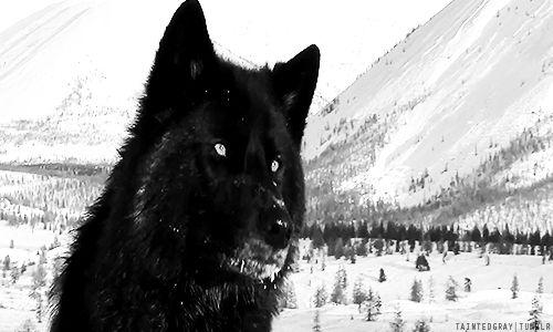 Wolf caught on trap camera in Emsburen (Niedersachsen, Germany) via wolveswolves.com.  GIF!  :)