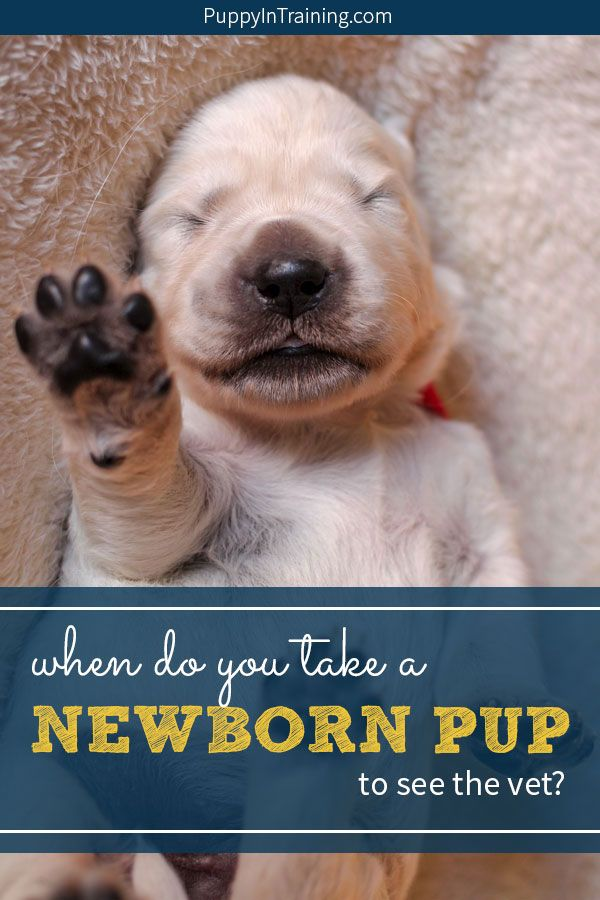 When Do You Take A Newborn Puppy To The Vet Newborn Puppies