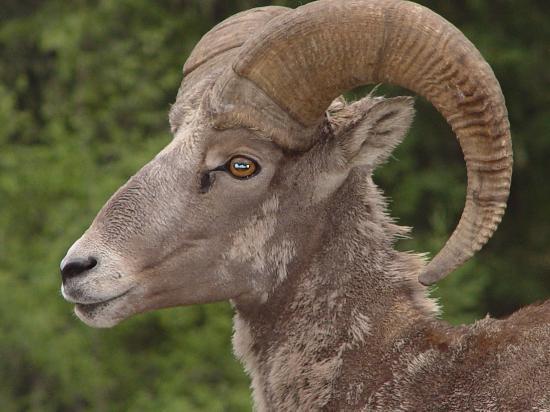 sheep springs big and beautiful singles Ram sheep big horn sheep  single white sheep and flock of sheep grazing in background  sheep, sheep in sheep, grazing sheep, spring arrivals and sheep .