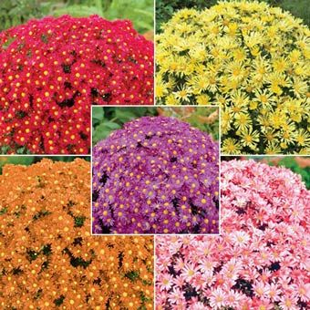Mammoth Mum Collection - Spring Hill's Hardy Mammoth Mum, a truly perennial mum that can withstand temperatures as cold as -30°F and comes back bigger and better each year! Butterflies love their perfect cushion shape and hundreds of beautiful, brightly colored flowers. Plant them in full sun to partial shade, either individually or as a hedge. They're hardy in warm climates (zone 9) or cold (zone 3), and are so easy to take care of - no pinching, pruning or deadheading required!