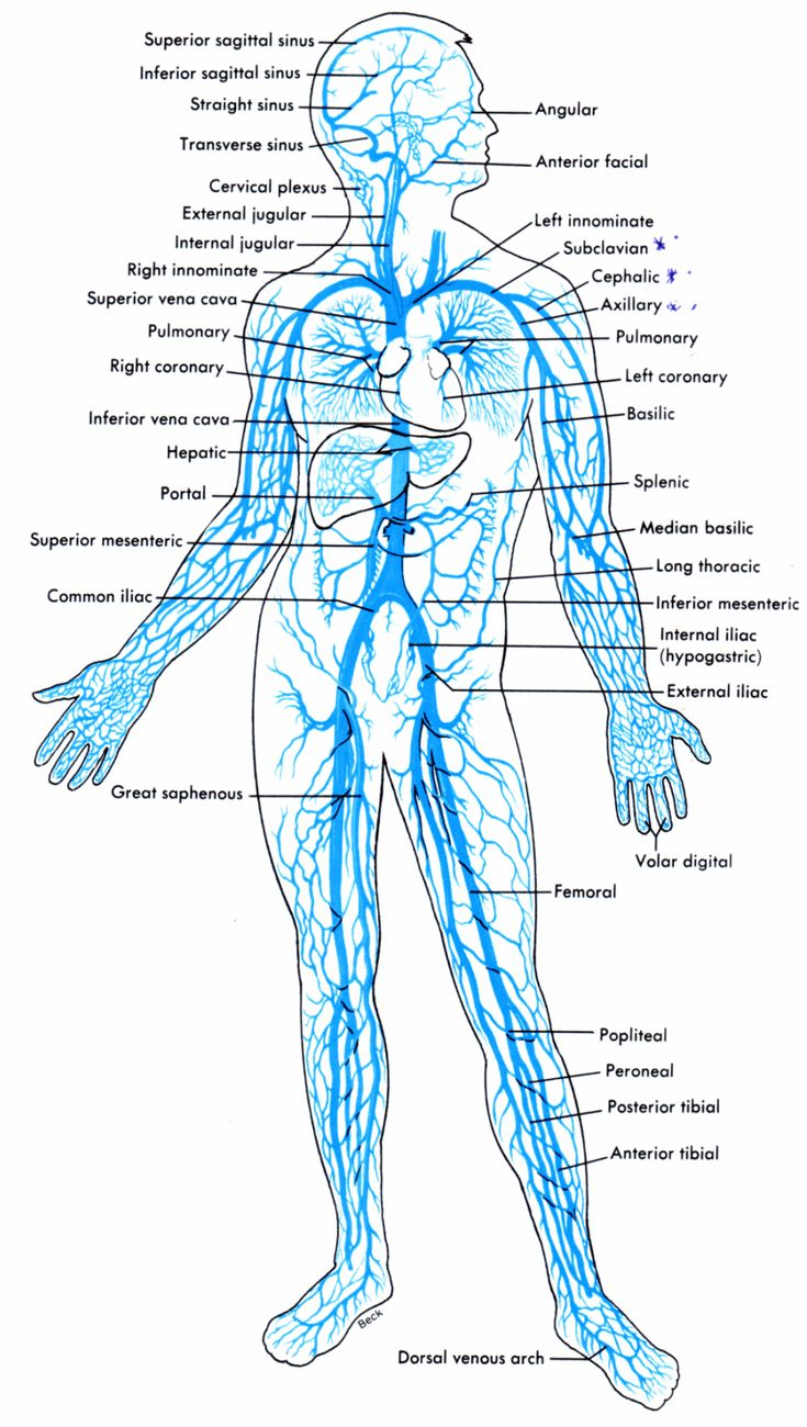 The Human Arterial And Venous Systems