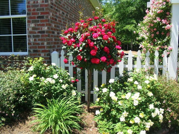 Double Knockout Rose Tree
