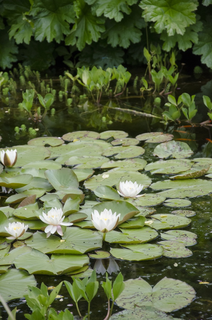 Lily pads are beautiful.