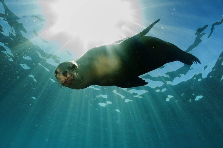 The Mediterranean Monk Seal, Monachus monachus.