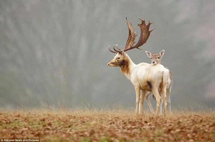 #Reindeers