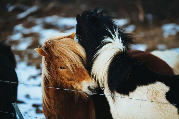 fotografia de um cavalo marrom e cavalo preto peludos fofinhos e lindos