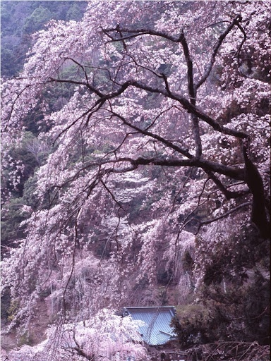 Amazing sakura tree. cherry blossom japan spring