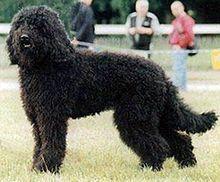 """Chien de carrera Barbet.      El perro de aguas es una raza de perro ; se trata de un francés de tamaño medio perro de agua . Está inscrita en el Grupo 8 (perros perdigueros, rubor perros, perros de agua) por la Société Centrale Canine , el Kennel Club Francés.  El nombre de la raza """"perro de aguas"""" viene de la palabra francesa Barbe , lo que significa barba."""
