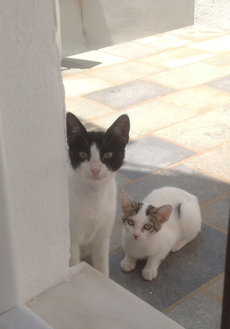Serifos cats,mother and kitten July 2014