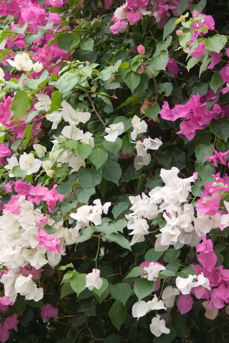 Flowers in Sidi Bou Said, Tunisia Africa