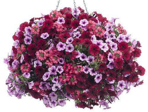 Tons of Fun   Supertunia Black Cherry Petunia, Supertunia Mini Rose Veined Petunia, Superbena Royale Iced Cherry Verbena