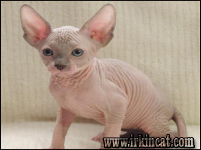 The Unexposed Secret Of Sphynx Kittens For Sale In Michigan In