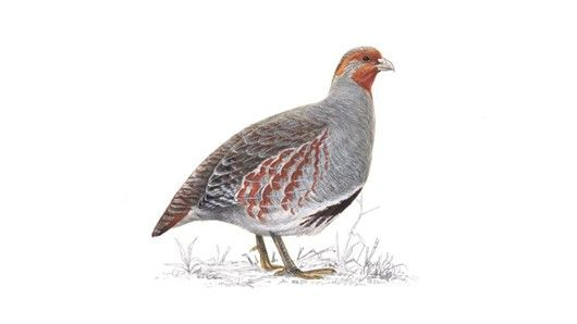 Grey partridge, St Andrews, 10/5/13