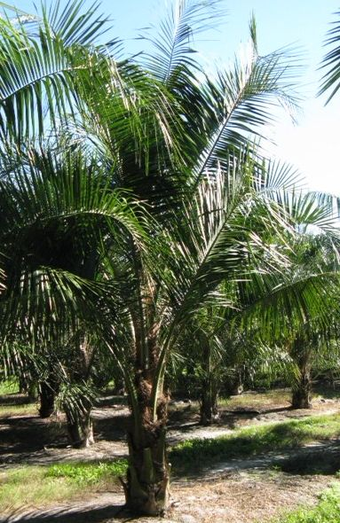 Mule Palm Butiagrus Nabonnandii Zone 9a 11 Full To