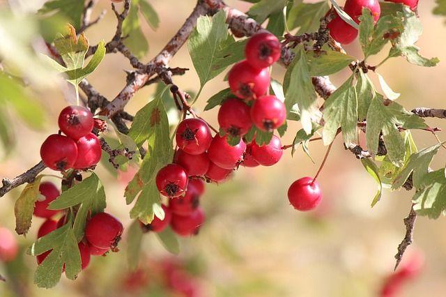 """A galagonya a gyógynövények között első számú """"szívgyógyszer"""". Vérnyomáscsökkentő, javítja a szív vérellátását, sőt érelmeszesedés esetén is bevethető."""