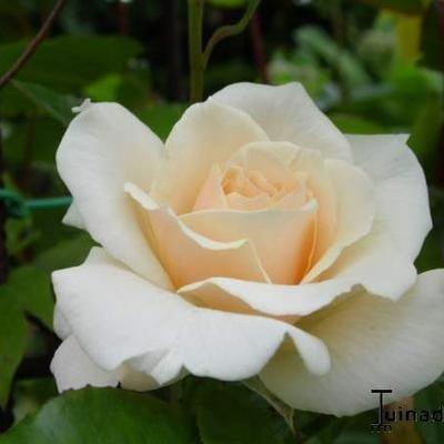 Roos, klimroos - Rosa 'Penny Lane'