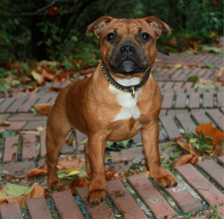 Staffordshire Bull Terrier 5 Months 58 best images about M...