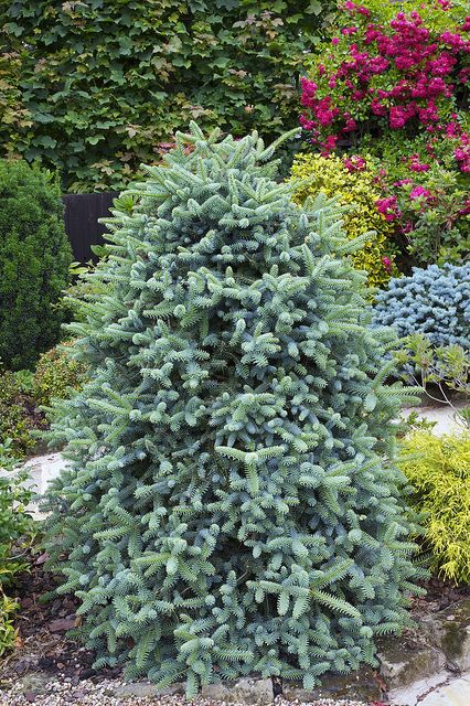 Abies pinsapo Abies pinsapo 'Glauca' - Spanish fir' after approximately 15cm(6in) of spring growth by Four Seasons Garden, via Flickr