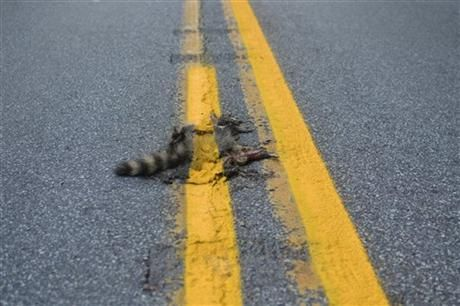 A big oops in Pennsylvania...the Department of Transportation painted a double yellow right over roadkill