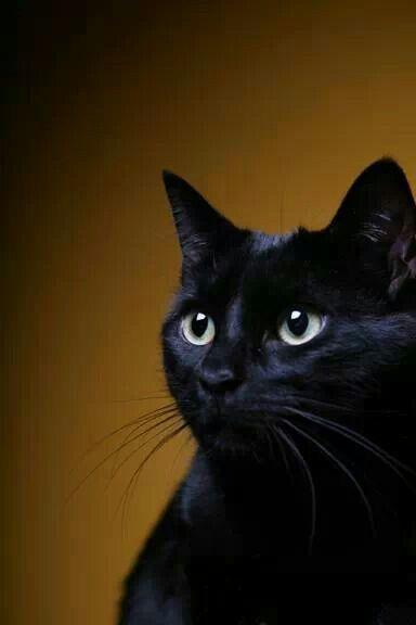 Mientras que en muchas partes de Europa y América consideran que el gato negro un signo de mala suerte, en Gran Bretaña y Australia, los gatos negros se consideran de buena suerte. #amorgatuno