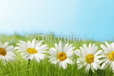Chamomiles  in grass - 81022704