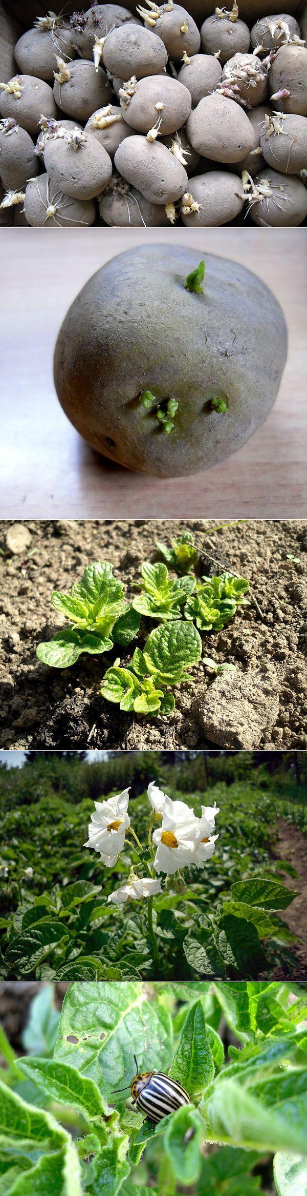 Εμείς καλλιεργούν πατάτες.  Προετοιμασία του υλικού φύτευσης, τη φύτευση, τη φροντίδα, την επιλογή των ποικιλιών.  Τον Μάρτιο, οι κηπουροί της αγοράς Συχνές ερωτήσεις ταινία αφαιρείται από την αποθήκευση των σπόρων γεωμήλων για τη βλάστηση.  Για να προετοιμάσει ένα καλό υλικό φύτευσης, απαιτεί 35 έως 40 ημέρες.