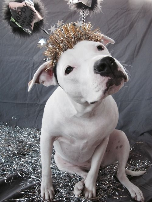 1000+ images about New Years pitbulls on Pinterest | Pitbull Terrier ...