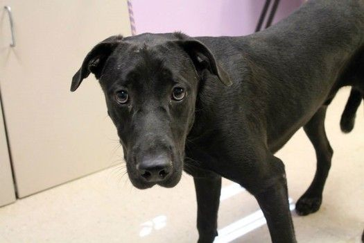 Porter: Beautiful lab mix is out of time at high-kill upstate shelter