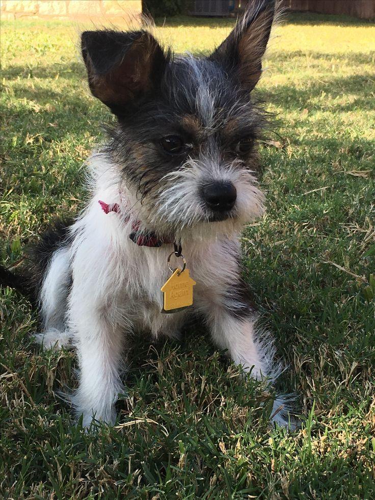 Image Result For Shih Tzu Boston Terrier Mix Dogs Pinterest