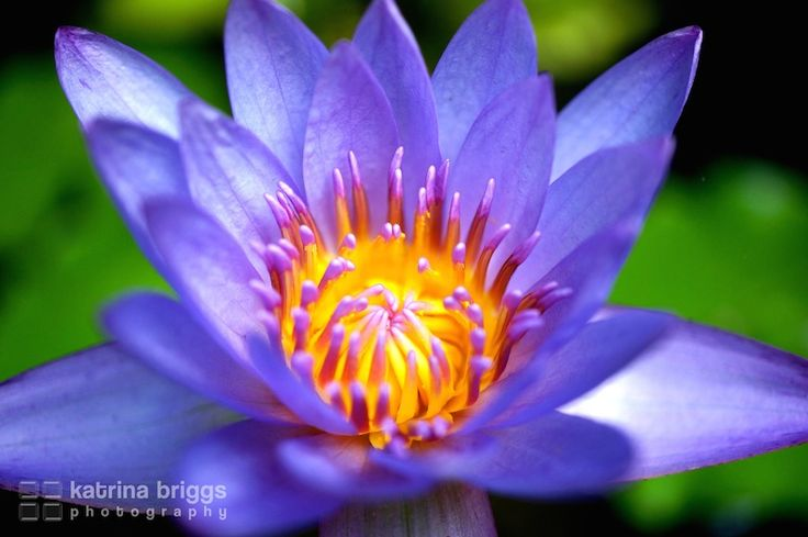 Waterlilly. Sanur, Bali