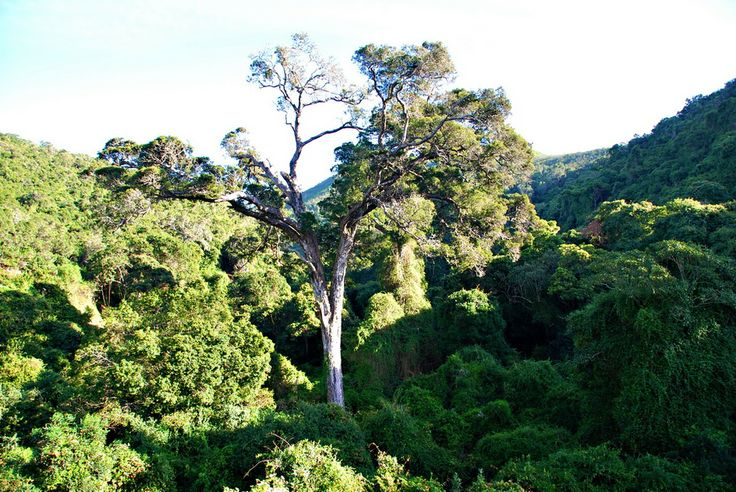 A forest scene at Nature's Valley near Plettenberg Bay, South Africa.