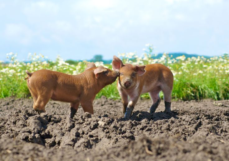 Photographer Pernille Westh   Piglets, Country Life · Get my 7 FREE basic photography tips - you need to know! http://pw5383.wixsite.com/free-photo-tips