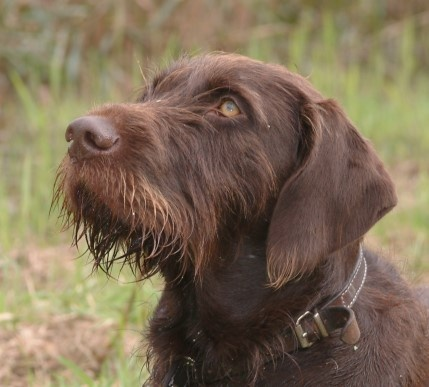 Pudelpointer / German hunting poodle Hound Dogs #Puppy ...