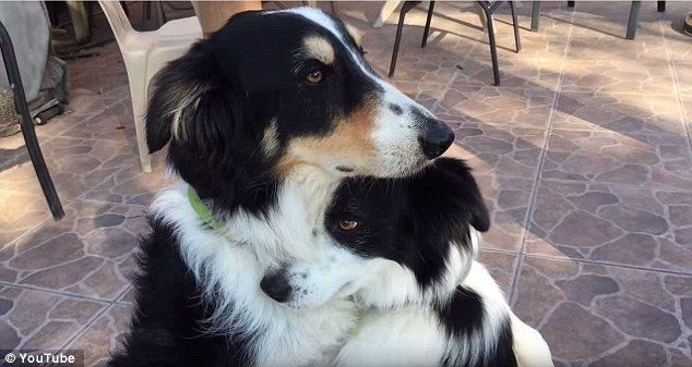 Border collies hugging is making Facebook flip out ahead of Valentine's Day | Daily Mail Online