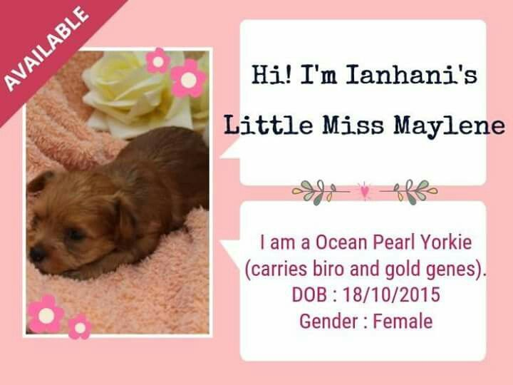 Ocean Pearl Yorkshire Terrier Female Available