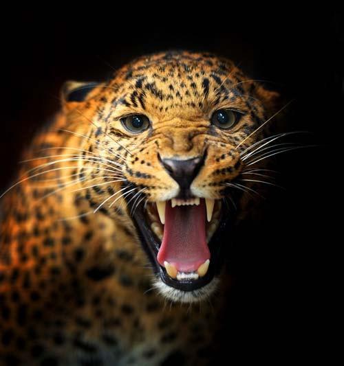 Black Jaguar Growl: Jaguar Growling Panther Canvas Art Print By