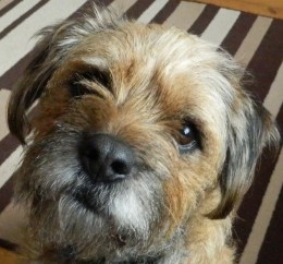 Barney - our family's Border Terrier snapped using Nikon Coolpix L120. Click through to read my review of Bridge Cameras- Best Bridge Cameras By A Photography Idiot