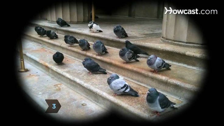 How to Identify Birds: The Pigeon - YouTube