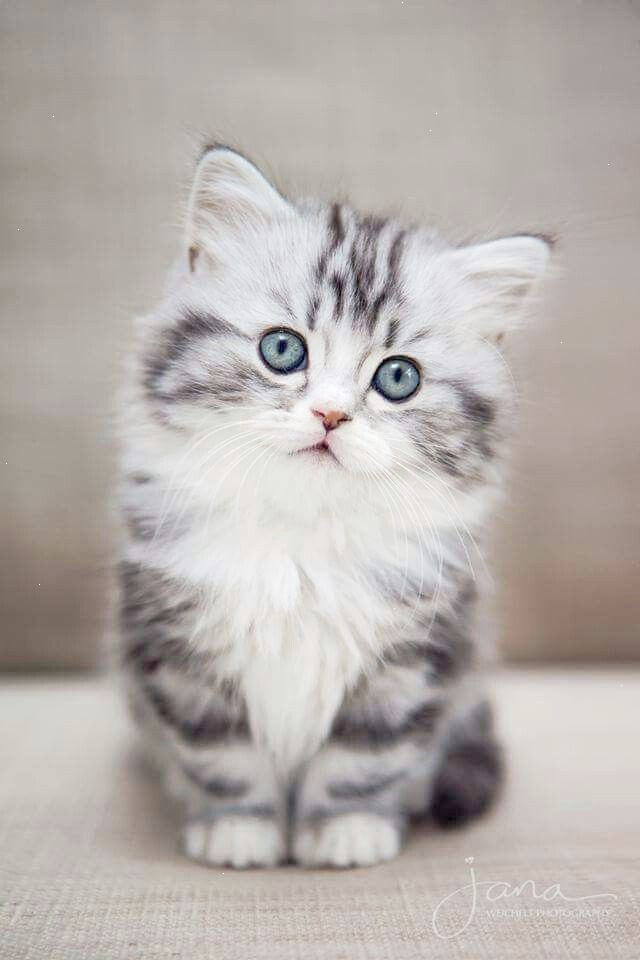 Look What I Discovered Cats And Kittens For Sale Brisbane Follow Kittens Cutest Cute Cats And Kittens Abyssinian Cats