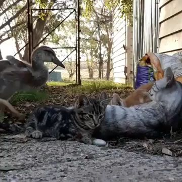 Duck joins pile of cats