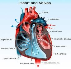 What is the narrowing of the aortic valve (aortic stenosis)? http://medical-helpful-info.blogspot.com/2012/08/what-is-aortic-valve.html