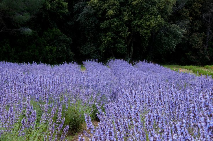 #lavender #eco_friendly #organic #cosmetics #ingredients #farms #green #cute #nature #amazing #relaxation #ecology