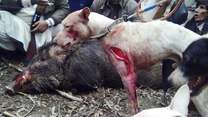 Petition · Make an end to the cruel Boar/Hog Hunt in Pakistan · Change.org