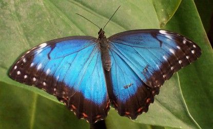 Adult blue morphos spend most of their time on the forest floor and in the lower shrubs and trees of the understory with their wings folded. However, when looking for mates, the blue morpho will fly through all layers of the forest and even above the treetops.
