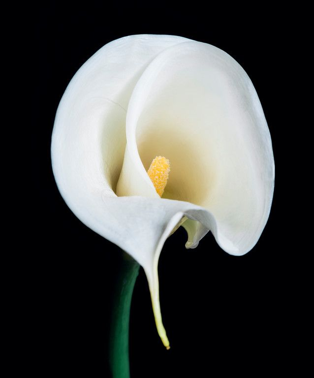 Gorgeous calla lily photo - almost looks like a painting! Perfect floral artwork and home decor. | Available for purchase at LucentCreations.com || #flower #artwork #homedecor #art #photo #lily #painting #giftideas #gift