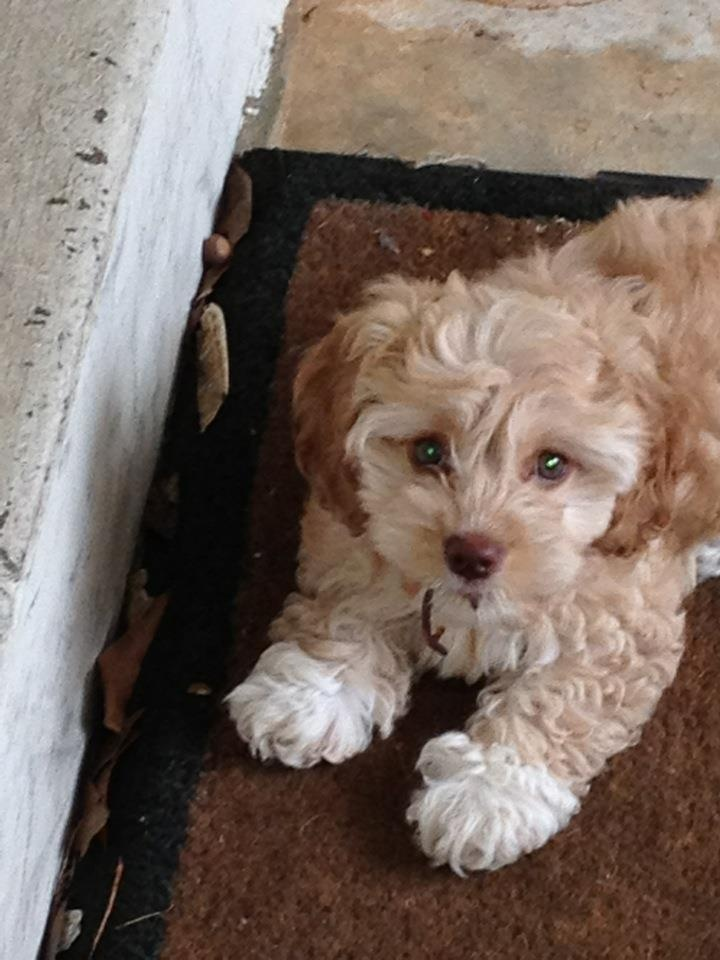 Cute Cockapoo - just give in, resistance is futile.