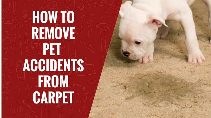 How to Remove Pet Accidents from Carpets |  Carpet Care | #Rugs