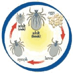 The flea and tick life cycles