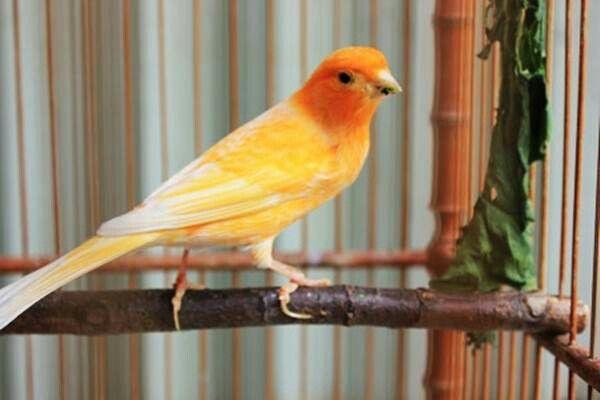 Pin Von Ahmad Black Auf Canary Kanarienvogel Vogel