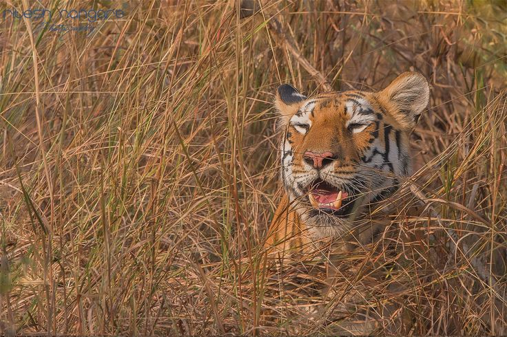 I am Maya....... - Pandharponi Area, Tadoba. December 2015  Here is maya now the queen of Pandharponi area of tadoba. one of the most photograph tigress in Tadoba. she is a star kid from the beginning she is aggressive towards her siblings and most playful too. After her mother passed away by snake bite she become successor of her and claim her mother territory. now she has three cubs and rule the Pandharponi Area of tadoba....  Canon 1Dx,canon 500mm +1.4 TC, f/8, iso-800, SS 1/2000…